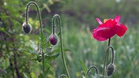 反对绿草的开花的红色鸦片 影视素材