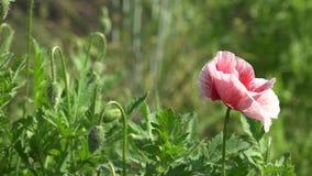 反对绿草的开花的红色鸦片 股票视频