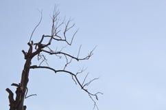 反对美丽的大干燥树 免版税库存照片