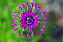 反对自然绿色背景的紫色非洲雏菊或Osteospermum花 图库摄影