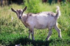 反对草的一只灰色山羊 库存图片