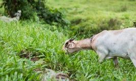 反对草的一只白色山羊 免版税库存照片