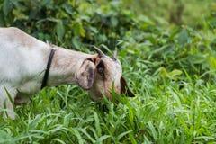 反对草的一只白色山羊 免版税库存图片