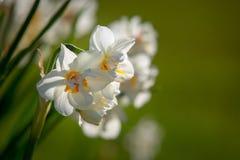 反对草的白色和黄色花 库存图片