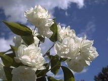 反对蓝天和云彩的茉莉花花 库存图片