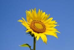 反对蓝天和太阳的一个开花的向日葵 免版税库存照片