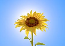反对蓝天和太阳的一个开花的向日葵 库存图片