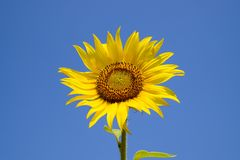 反对蓝天和太阳的一个开花的向日葵 免版税库存图片