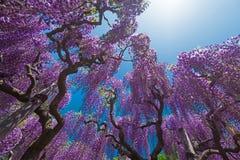 反对蓝天和阳光的紫藤 库存照片