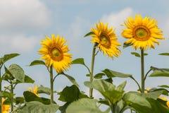 反对蓝天的三个向日葵 免版税图库摄影