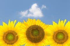 反对蓝天的三向日葵开花 库存照片