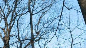 反对蓝天的不生叶的树枝 影视素材