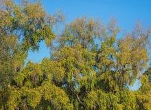 反对蓝天的五颜六色的树在秋天 免版税图库摄影