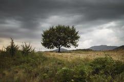 反对蓝天的偏僻的树在日落 与一棵孤立树的夏天风景在日落大麦领域在村庄阿塞拜疆 库存图片