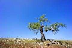 反对蓝天的偏僻的树 免版税图库摄影