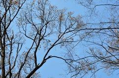 反对蓝天的光秃的树 免版税库存照片