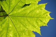 反对蓝天的叶子 免版税库存图片