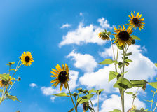 反对蓝天的向日葵 免版税库存照片