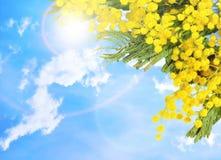 反对蓝天的含羞草花 春天3月8日,母亲`的s花背景天和复活节假日 库存照片