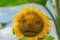 反对蓝天的哀伤的向日葵 免版税库存照片