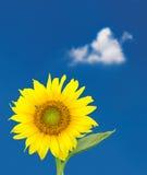 反对蓝天的唯一向日葵开花 免版税库存照片