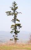 反对蓝天的孤立杉树 免版税库存照片