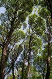 反对蓝天的巨型绿色树 免版税库存照片