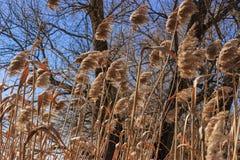 反对蓝天的干燥芦苇 库存照片