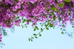 反对蓝天的开花的九重葛分支 库存图片