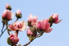 桃红色木兰 库存图片