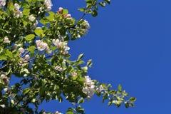 反对蓝天的开花的苹果树 免版税库存照片