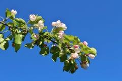 反对蓝天的开花的苹果树 图库摄影