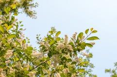 反对蓝天的开花的苹果 库存照片