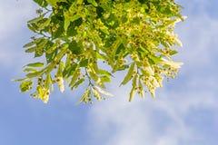 反对蓝天的开花的菩提树分支 在绽放的椴树 免版税库存图片