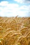 反对蓝天的成熟的麦子 库存图片