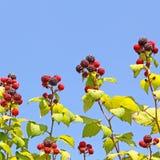 反对蓝天的成熟莓 图库摄影