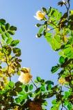 反对蓝天的新鲜的玫瑰色藤(垂直) 图库摄影