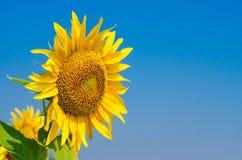 反对蓝天的明亮的向日葵,自由空间 免版税库存照片