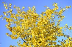 反对蓝天的明亮的黄色树 免版税图库摄影