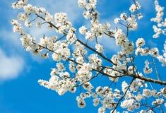 反对蓝天的春天白色开花 库存照片
