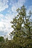 反对蓝天的木兰树 免版税图库摄影