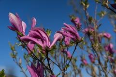 反对蓝天的木兰rosea 免版税库存照片