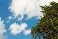 反对蓝天的杉木分支 库存图片