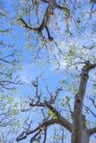 反对蓝天的树在春天Â ² 图库摄影