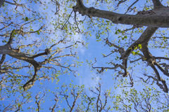 反对蓝天的树在春天Â ² 库存照片