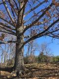 反对蓝天的树 库存图片