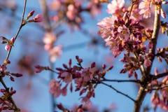 反对蓝天的桃红色和紫红色的樱花 免版税图库摄影