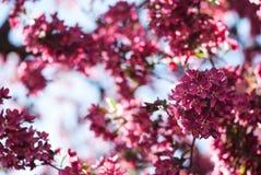 反对蓝天的桃红色春天Crabapple开花 免版税库存图片