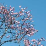 反对蓝天的桃红色樱花在春天 免版税库存图片