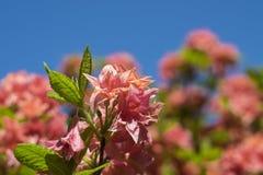 反对蓝天的桃红色rhododendendron 免版税库存照片